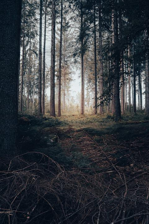 Forest, Nature, Trees, Woods, Outdoors, Wilderness
