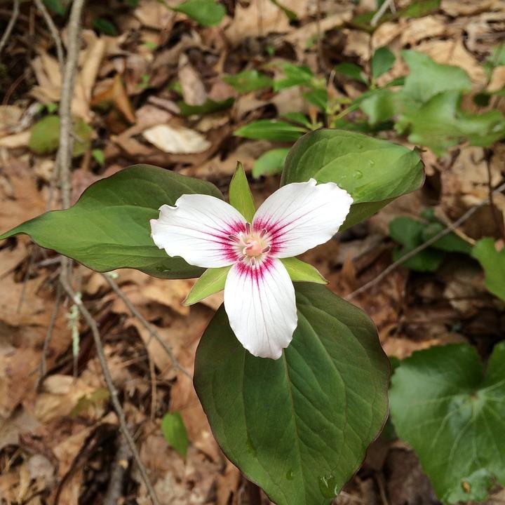 Flower, Trillium, Woodland, Forest