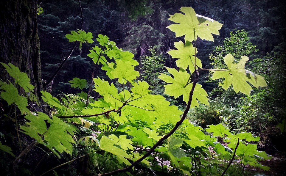 Greenery, Forest, Underbrush, Forest Plant
