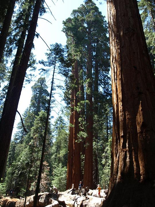 Sequoia, Usa, Forest, California, Sequoia Trees, High