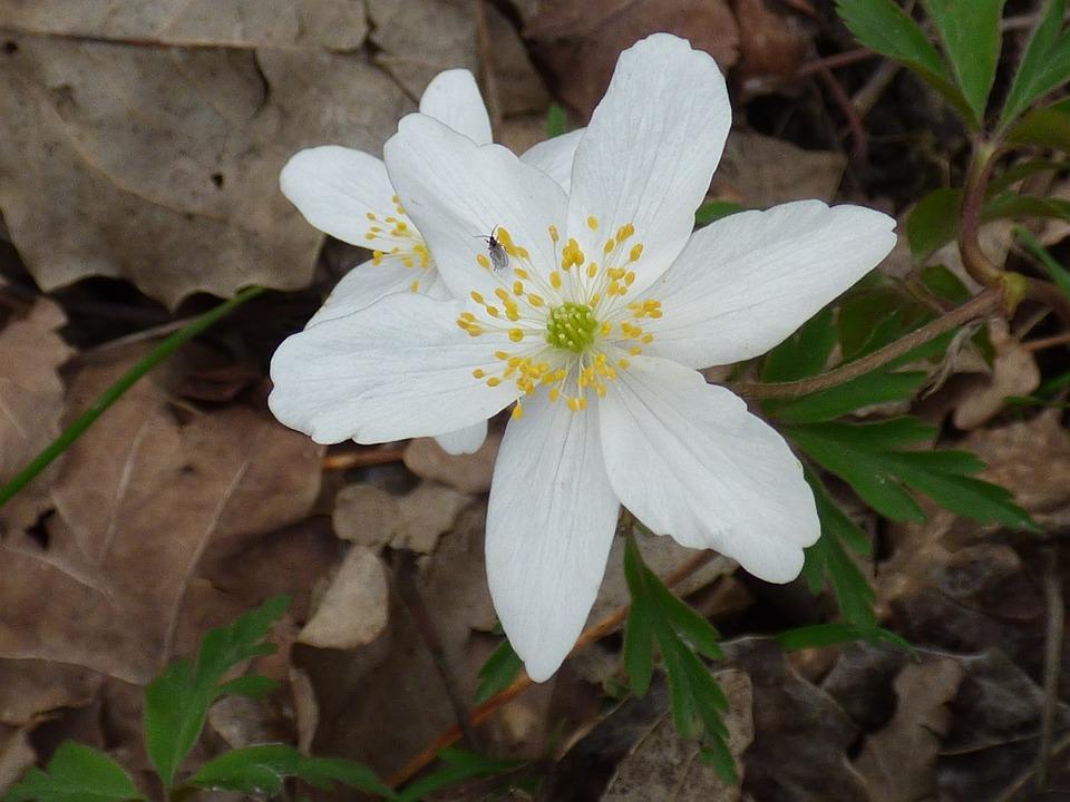 Flower, White, Forest