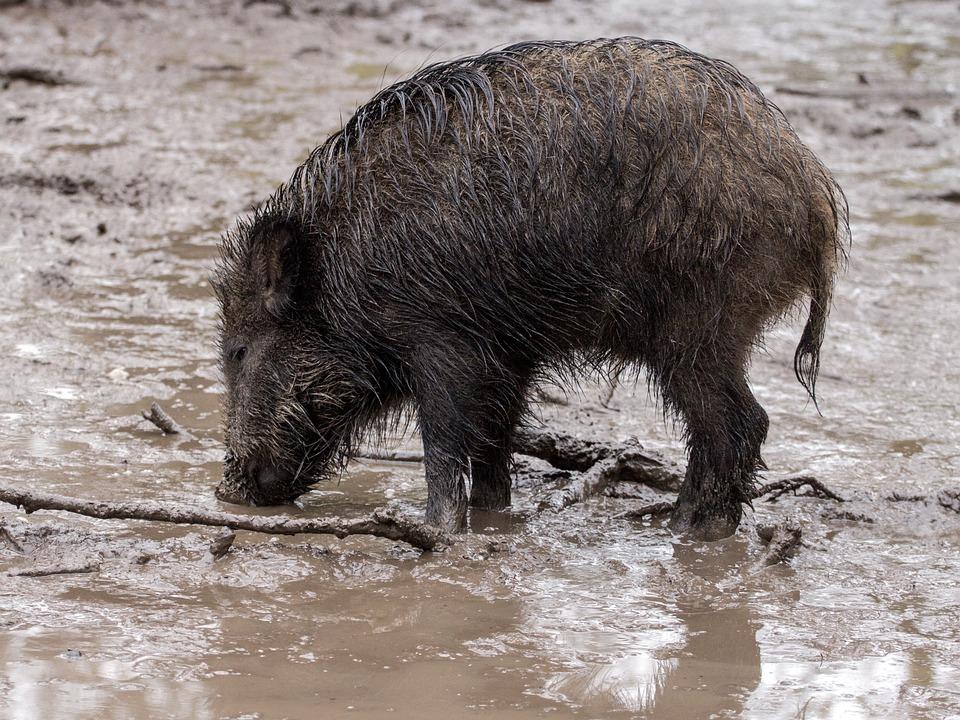 Wild, Wild Boars, Forest, Wild Boar
