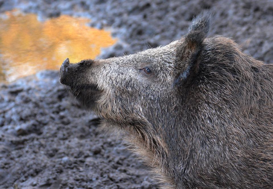 Boar, Forest, Wild, Wild Boar, Nature, Deer Park, Mud