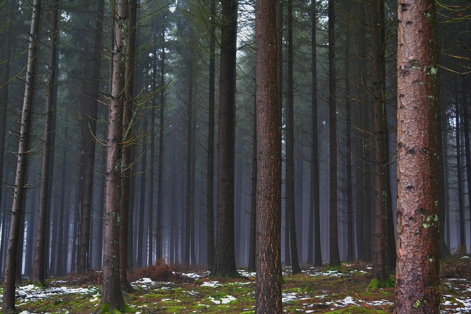 Forest, Pines, Winter