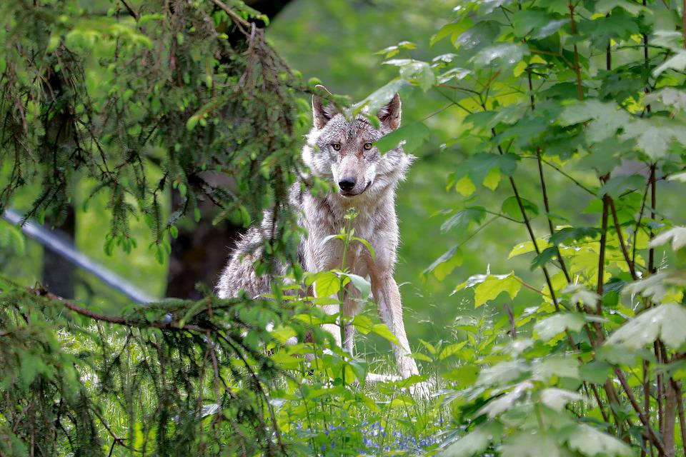 Wolf, Animal, Forest, Gray Wolf, Canis Lupus
