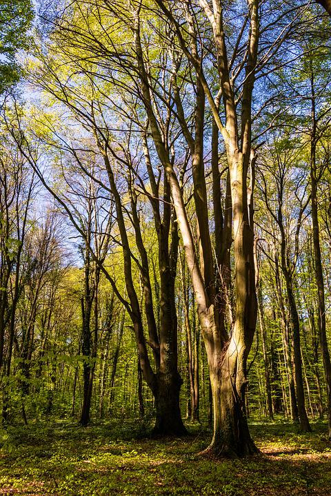Tree, Wood, Nature, Landscape, Park, Forest, Beech