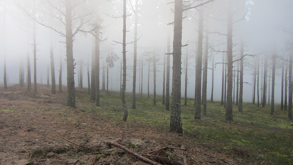 Forest, Wood, Twigs, Nature, Summer, Finnish, Fog