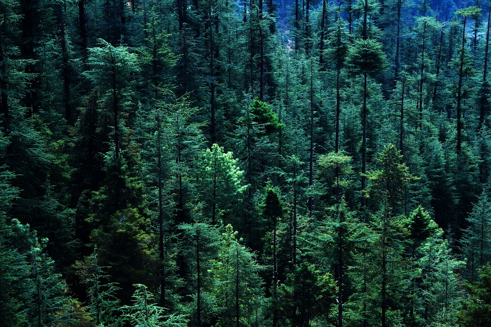 Forest, Tree, Pine Tree, Aerial View, Woodland