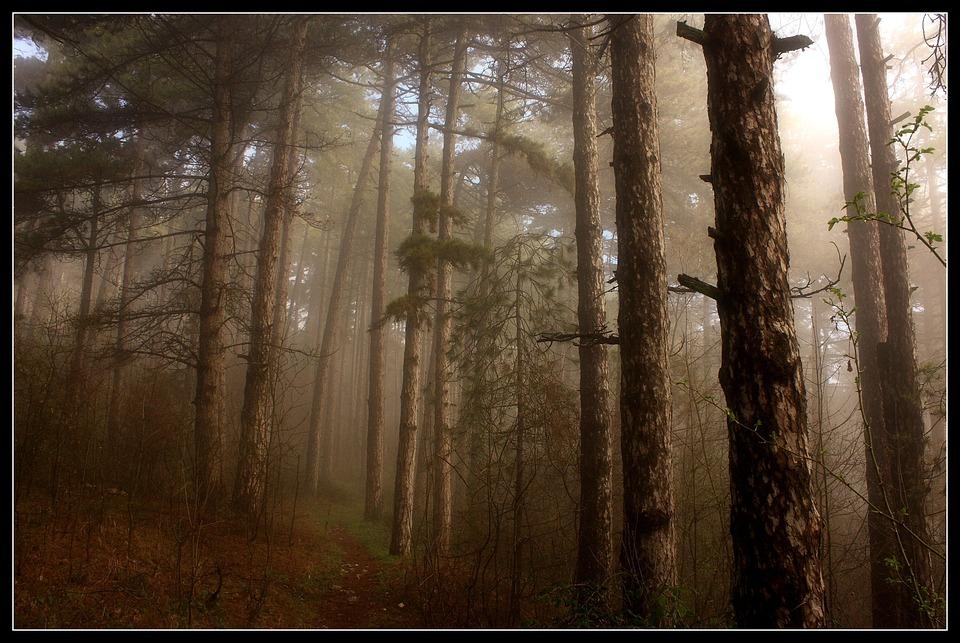 Trees, Fog, Forest, Woods, Wooden, Morning, Dawn, Foggy