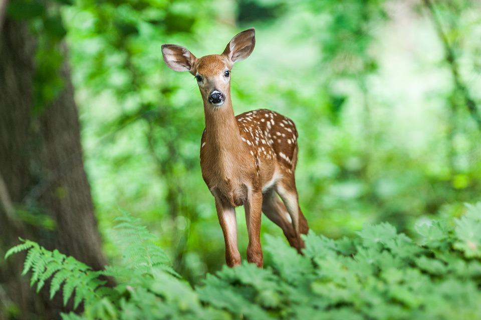 Deer, Mammal, Young, Animal, Wild, Forest, Nature