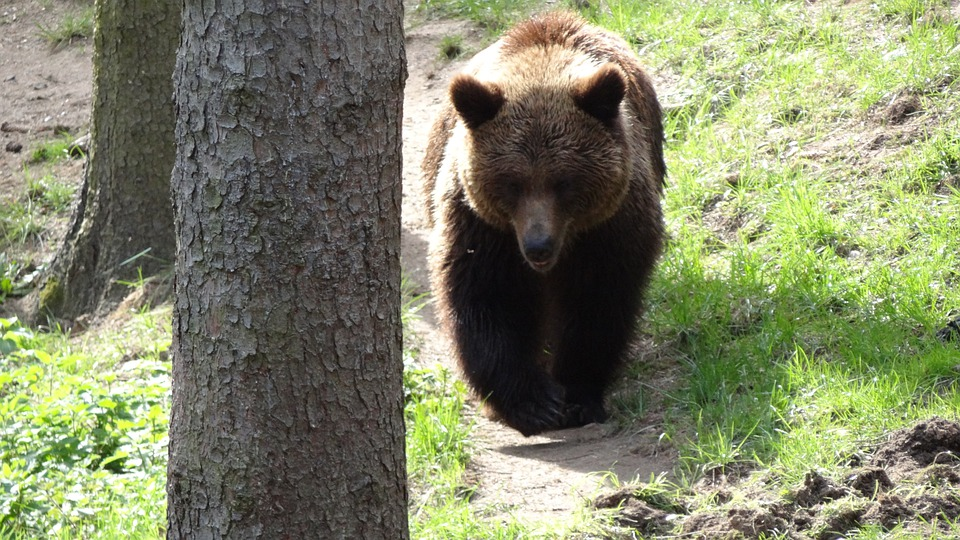 Bear, Mammals, Teddy, Forest, Forests