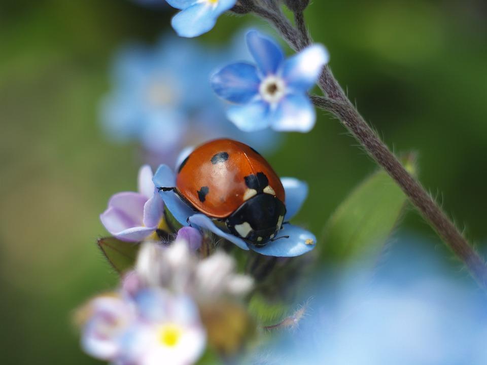 Nature, Flower, Plant, Insect, Leaf, Ladybug, Forget