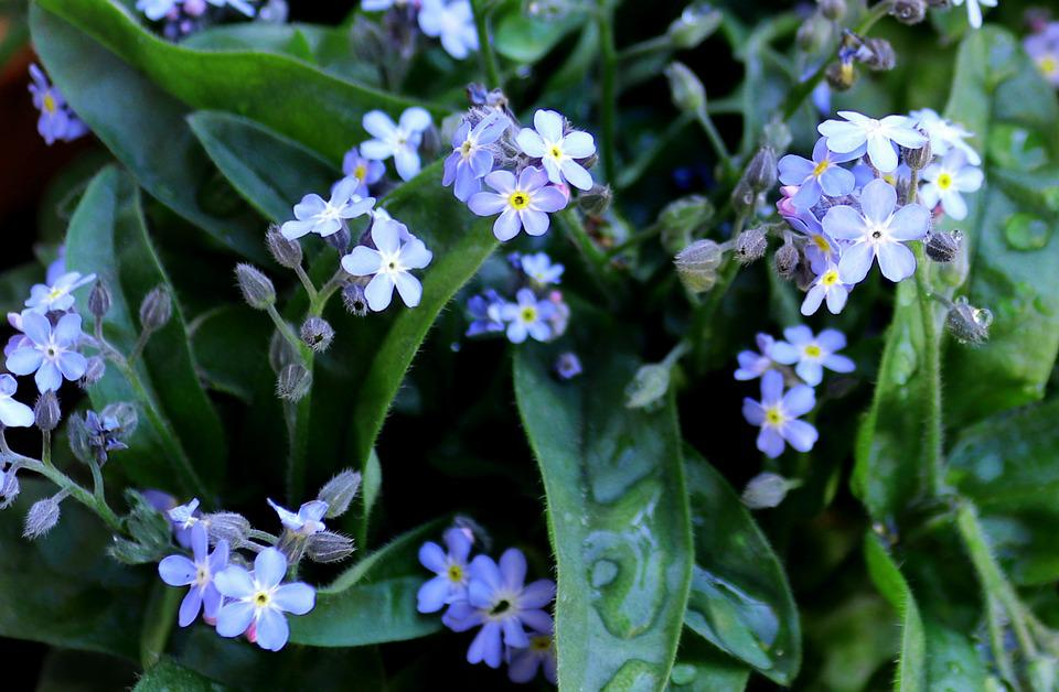 Forget Me Not, Nature, Flower, Plant, Leaf, Garden