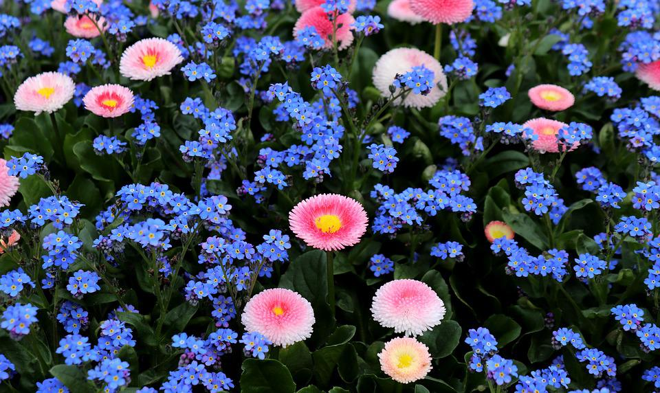 Forget Me Not, Daisy, Nature, Flower, Plant, Garden