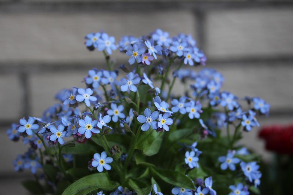 Flower, Summer, Blue, Forget Me Not, Garden, Plant