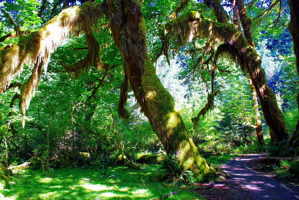 Hall Of Mosses, Hoh Rain Forest, Forks Washington