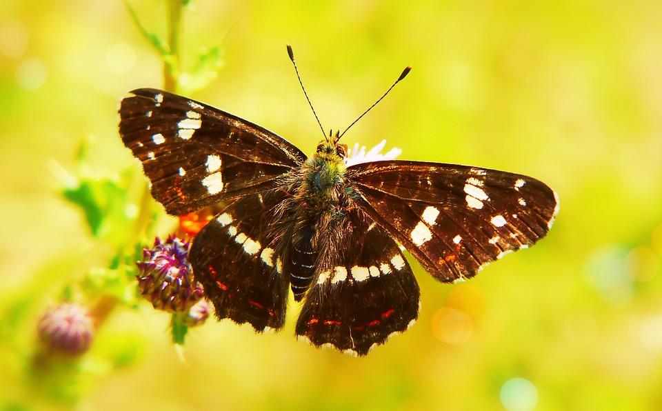 Mermaid Kratkowiec, Form Summer, Butterfly Day, Model