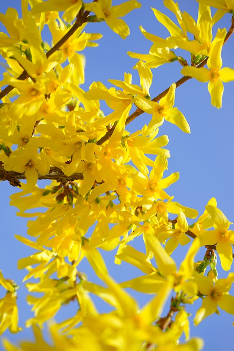Forsythia, Gold Lilac, Flower, Blossom, Bloom, Bush