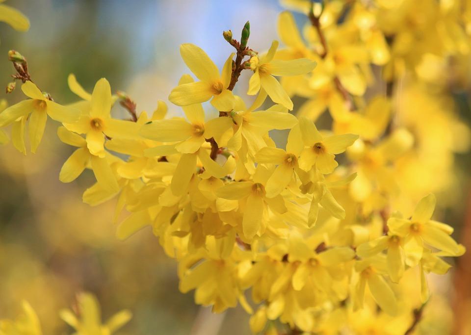 Forsythia, Flowers, Forsythia Flowers, Ornamental Shrub