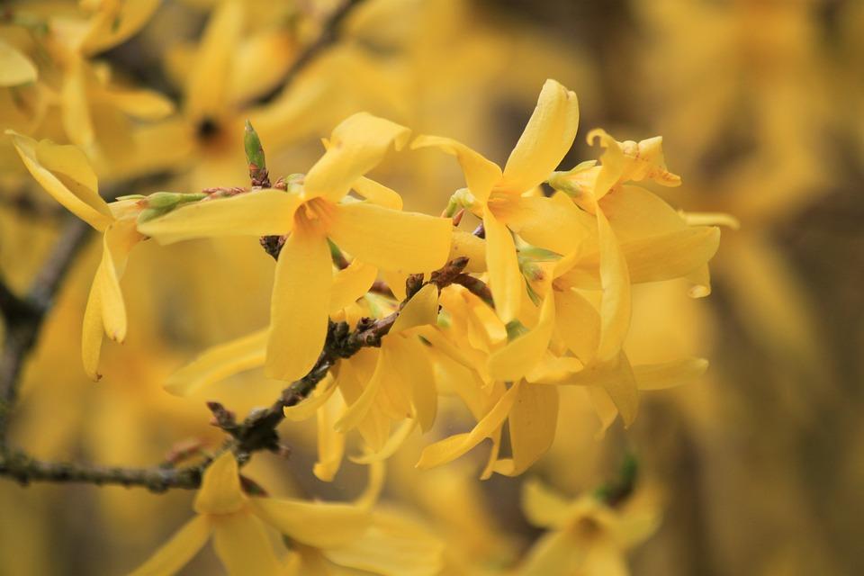 Forsythia, Garden Forsythia, Gold Lilac
