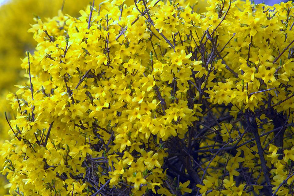 Forsythia, Flowers, Yellow, Spring, Flowering, Poland