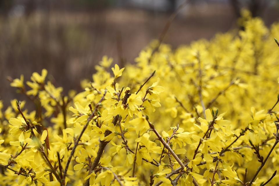 Forsythia, Pangyo, Spring