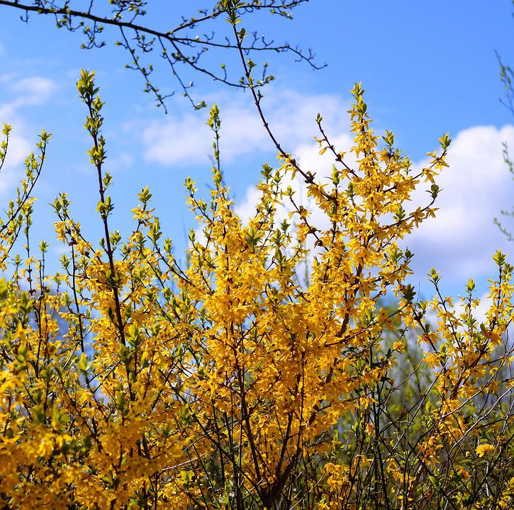 Forsythia, Gold Lilac, Blütenmeer, Spring, Yellow