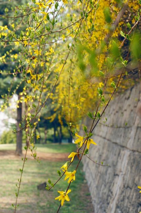Forsythia, Flowers, Yellow Flower, Spring Flowers