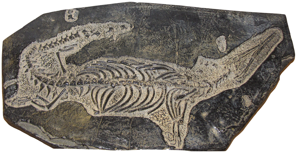 Fossil, Remains, Freshwater, Reptile, Mesosaurus