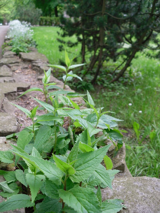 Wall, Fouling, Plant, Green, Mint, Mentha