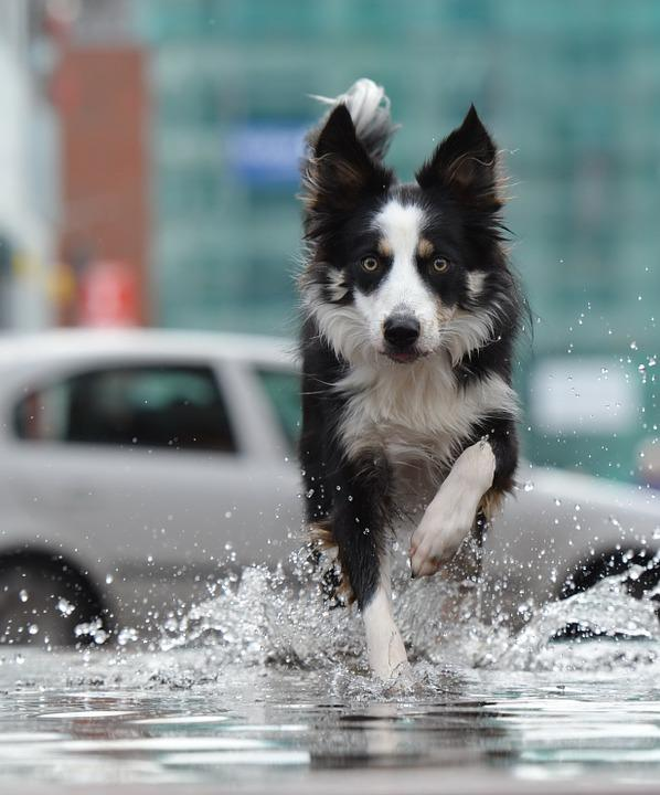 Border Collie, Fountain, City, Water, Fountain City