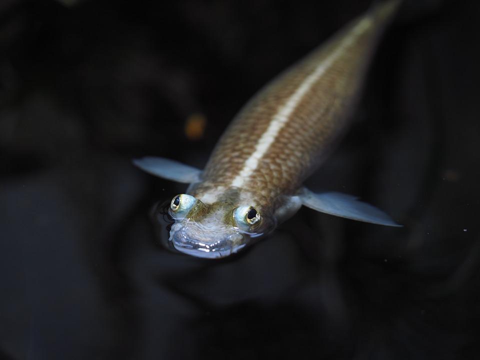 Four Eyes Fish, Fish, Four Eye, Anableps, Tooth Carp