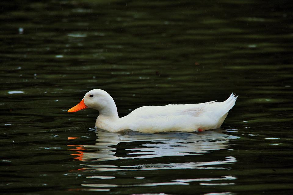 White Duck, Duck, White, Fowl, Water, Pond, Reflection