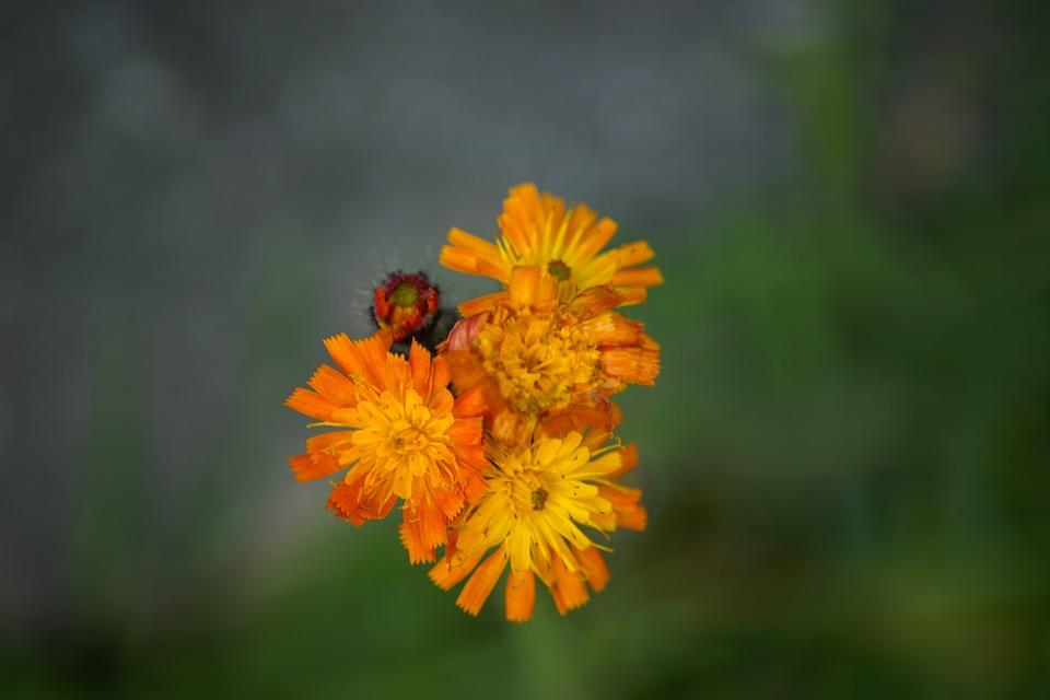Hawkweed, Orange, Fox And Cubs, Pilosella Aurantiaca