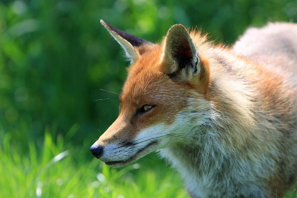 Fox, Red Fox, Animal, Wild, Wildlife, Close-up, Head