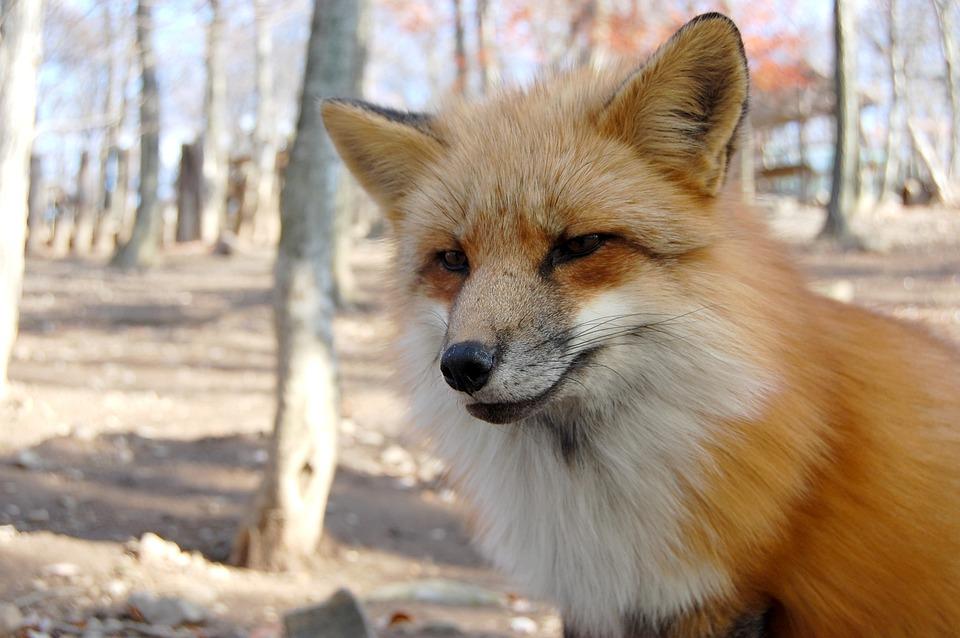 Animal, Mammal, 犬科, Dog, Fox, Carnivores