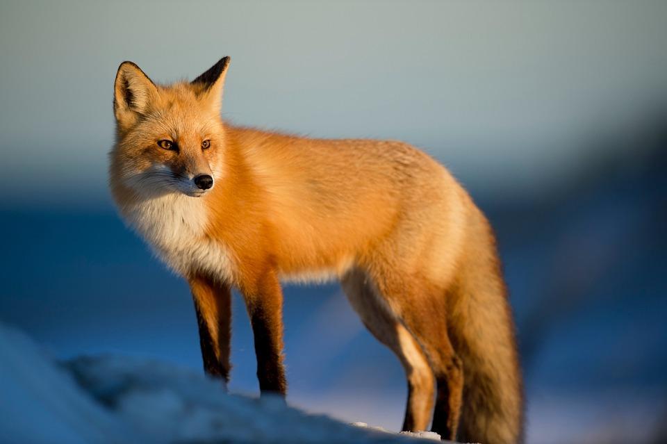 Fox, Animal, Wilderness, Nature, Predator, Blue Nature