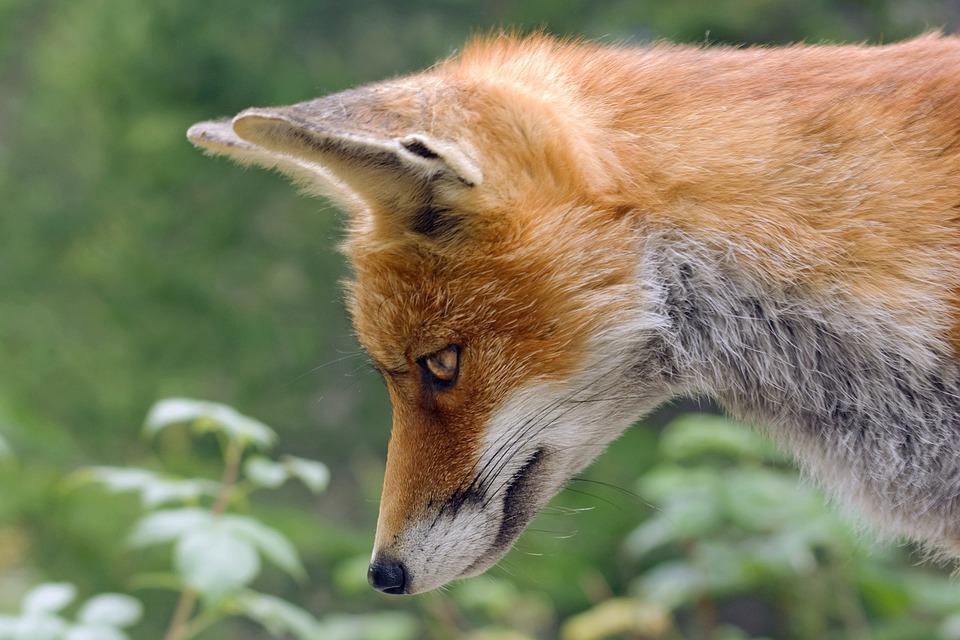 Fox, Red Fox, Animal, Nature, Wild, Carnivores, Head