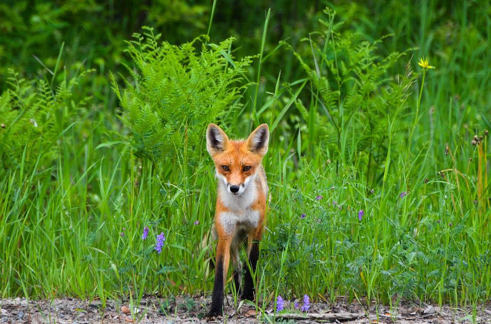 Fox, Red Fox, Wild, Nature, Animal, Wildlife, Fur