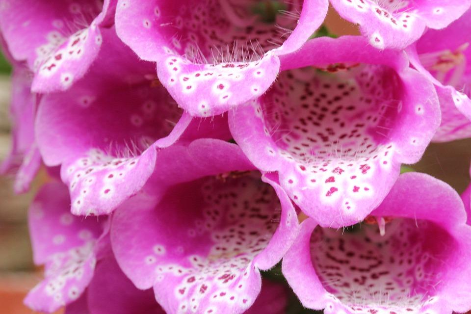 Foxglove, Flower, Plant, Garden, Nature, Bloom, Flora