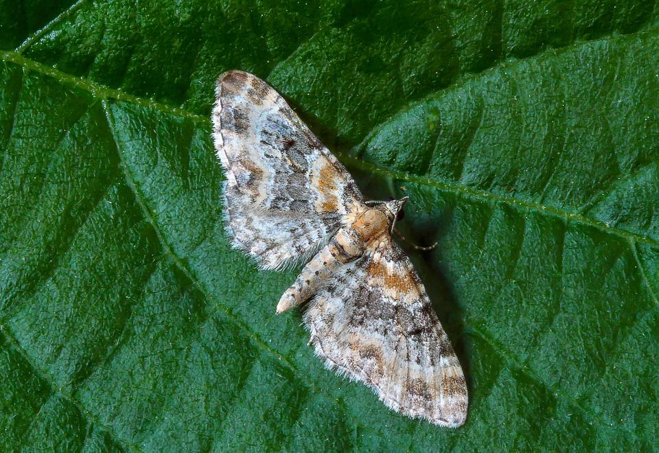 Foxglove-pug, Moth, Tiny, Wings, Nature, Close, Pattern