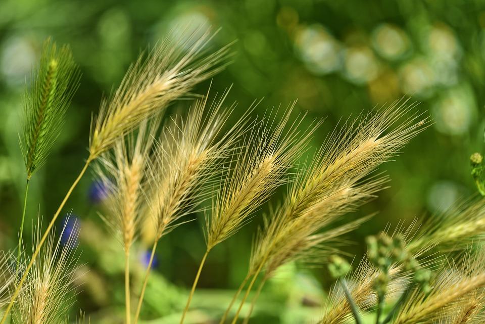 Foxtail Barley, Grass, Weed, Wild, Nature, Crop