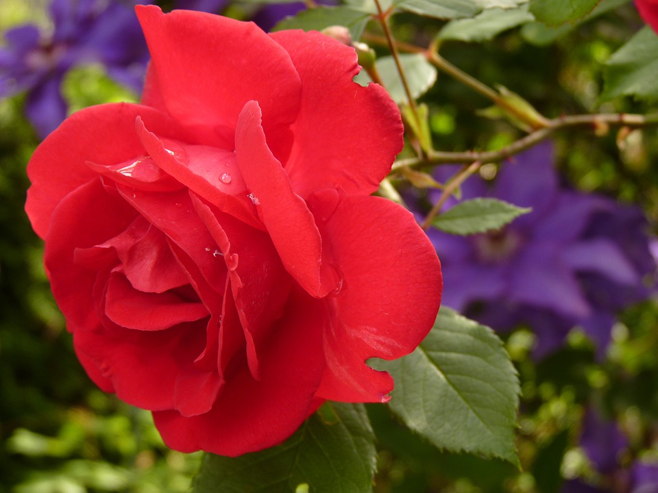 rose blossom bloom red rose rose bloom fragrance