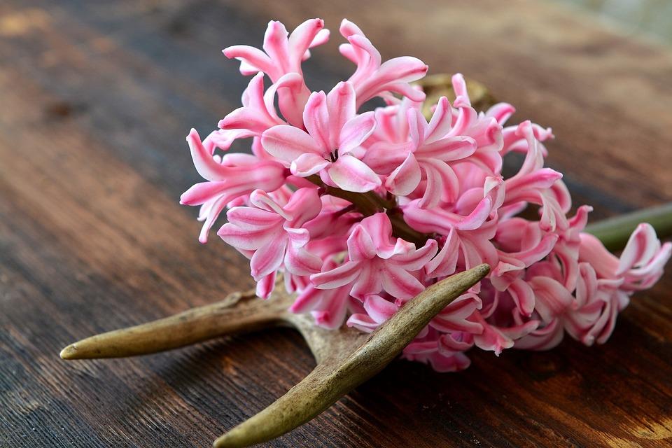 Hyacinth, Flower, Flowers, Pink, Fragrant