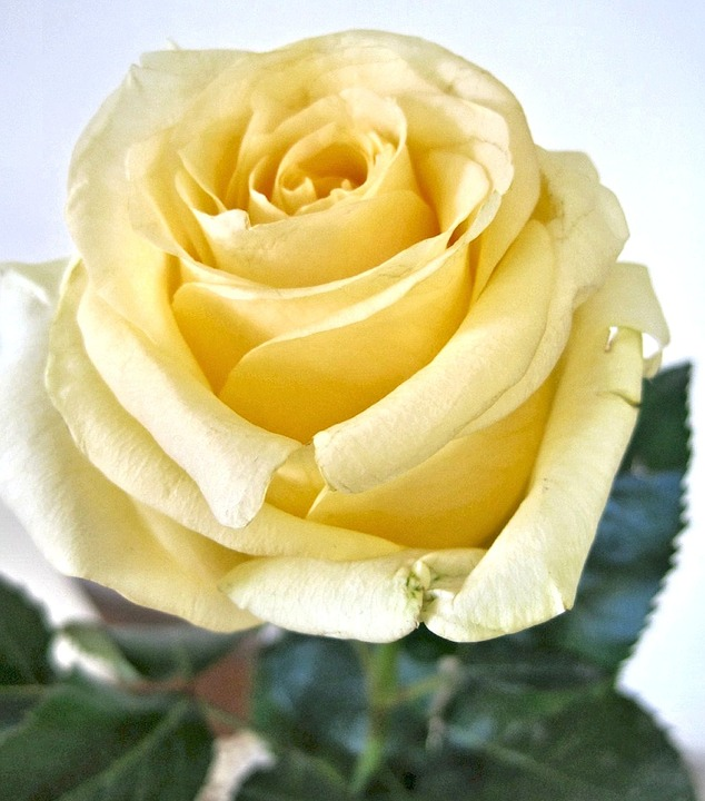 Yellow Rose, Fragrant Garden Flower, Canada