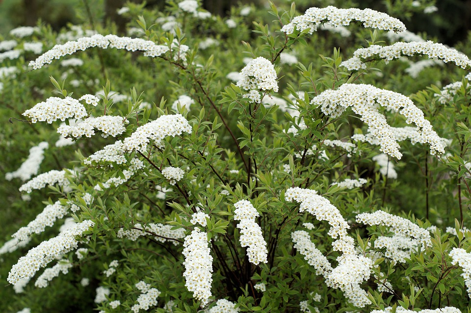 Free Photo Fragrant Hawthorn Plant Bush White Flowers Max Pixel