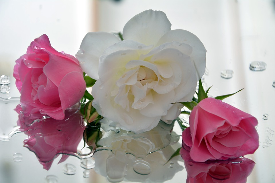 Icebergs, White And Pink, Pedals, Fragrant