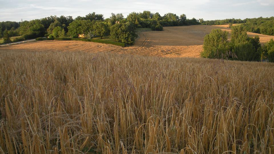 Wheat, Field, Cereals, France, Landscape, Cornfield