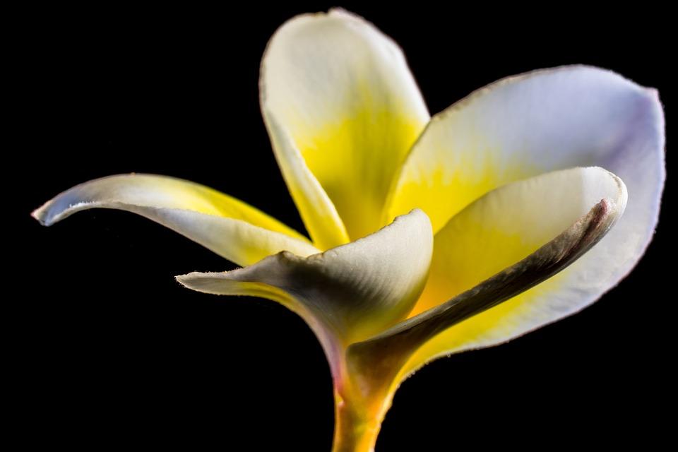Frangipani, Plumeria, Flower, Blossom, Bloom