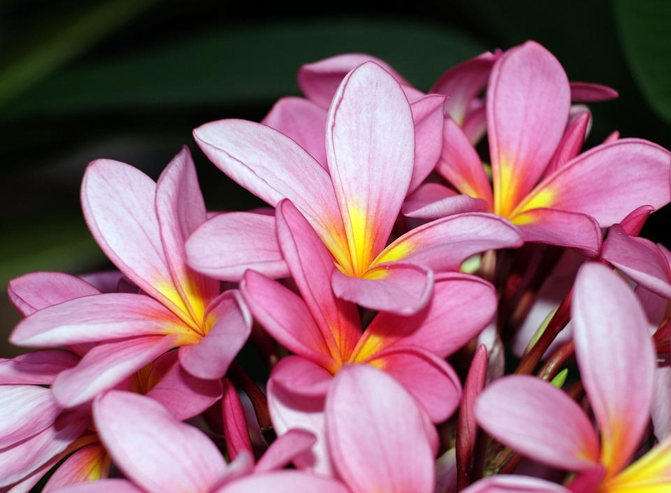 Plumerias, Flowers, Frangipanis, Pink Flowers, Petals